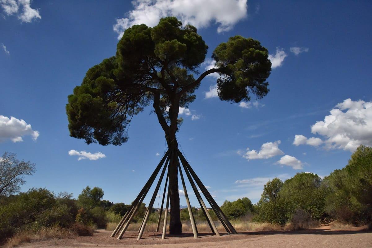 Giant Pine Tree (El Pi d'en Xandri) Sant Cugat
