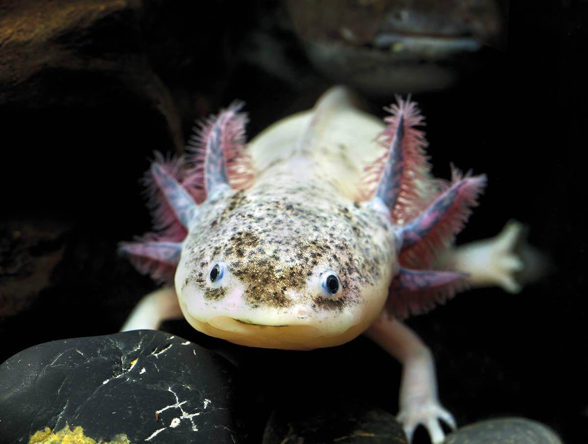Barcelona Aquarium Axolotl
